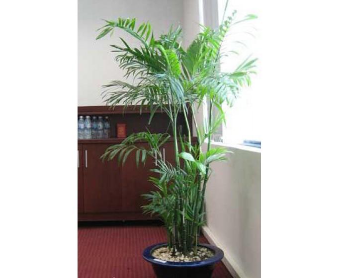 cây cau hawai1