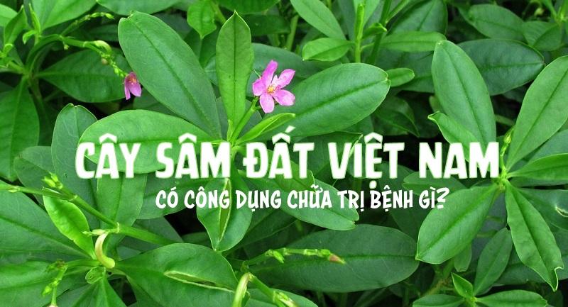 1431399232_cay-sam-dat-tho-sam