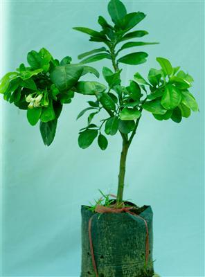 cách chiết bưởi để trồng trong chậu cảnh3