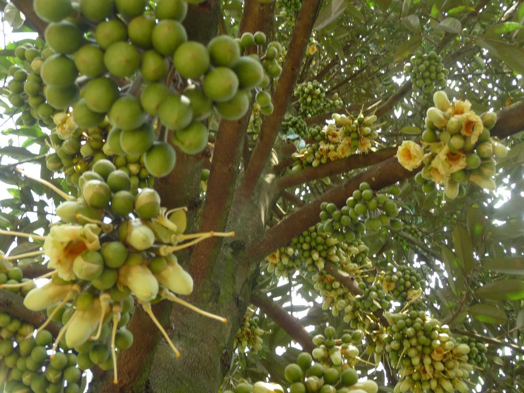 cây sầu riêng2