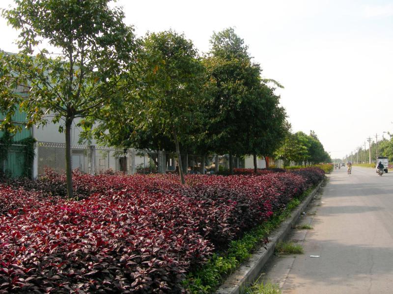 cây sao đen 5
