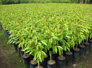 cây sầu riêng3