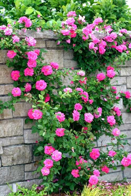 hoa hồng leo 2