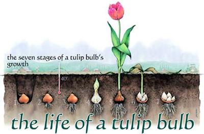 cách trồng hoa Tulip2