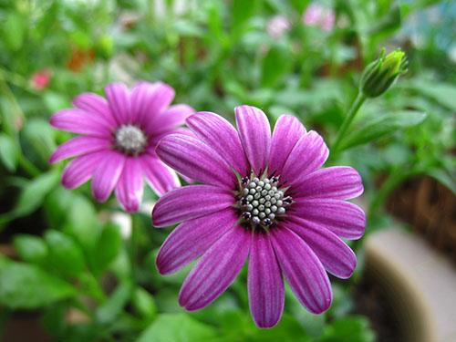 Hoa cúc tím1