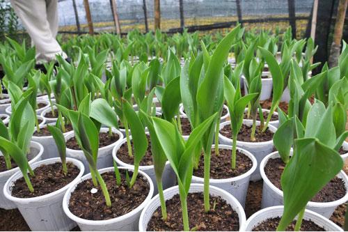 cách trồng hoa Tulip1