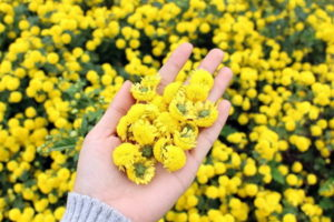 ý nghĩa của hoa cúc