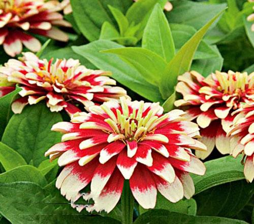 Cây hoa cúc lá nhám3