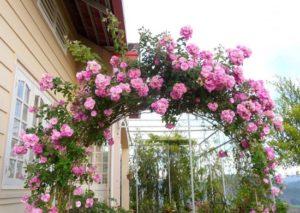kỹ thuật trồng hoa hồng tường vy