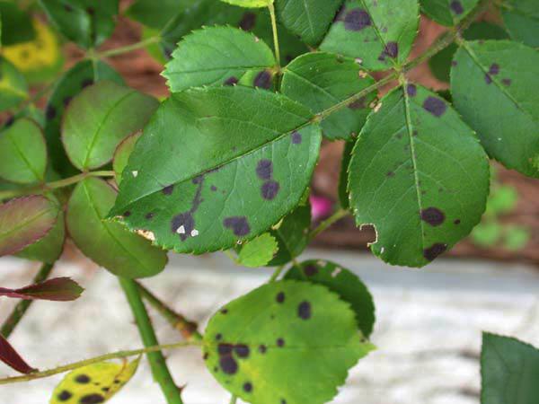 bệnh thường gặp của hoa hồng benh-dom-den
