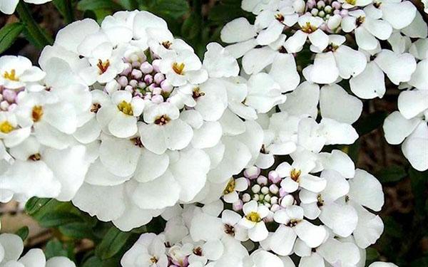 hoa tổ ong4