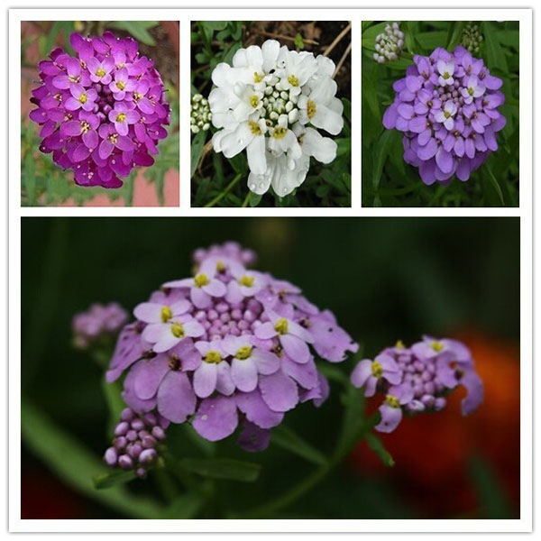 hoa tổ ong2
