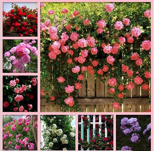 hoa hồng leo 5