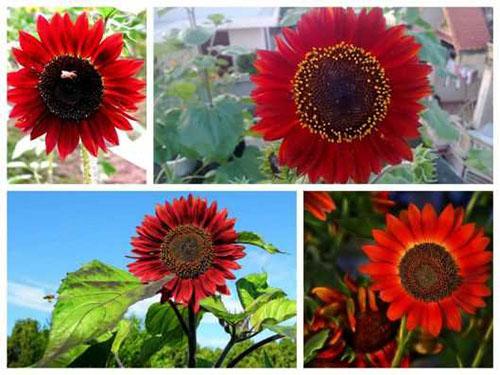 hoa hướng dương đỏ2