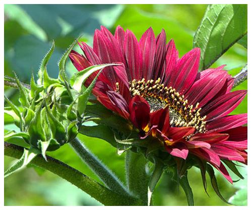 hoa hướng dương đỏ1