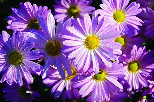 Hoa cúc tím2