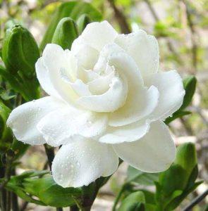 Hoa dành dành