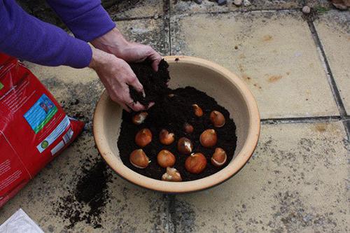 cách trồng hoa Tulip3