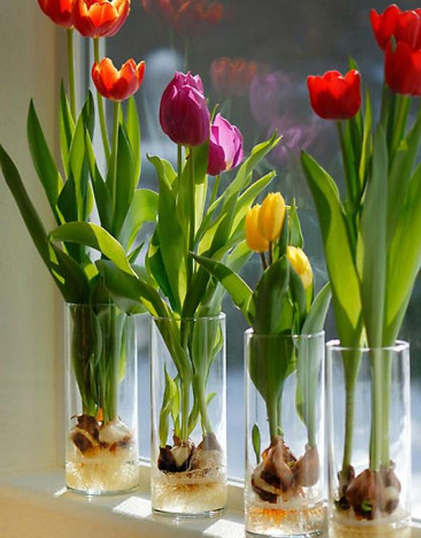 cách trồng hoa Tulip4