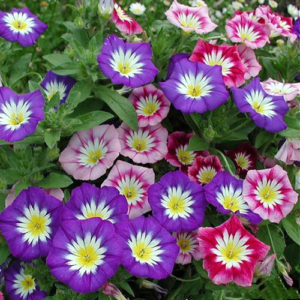 mariandl_stunning_tricolor_petunia_annual_indoor_bonsai_flower_seeds_professional_pack_100_seeds_pack_rare_blooming_thumb_599x599