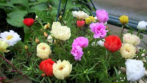 giống hoa dễ trồng 3