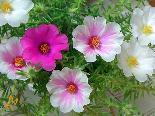 giống hoa dễ trồng 5
