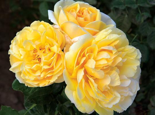 Kết quả hình ảnh cho Hoa hồng Michelangelo