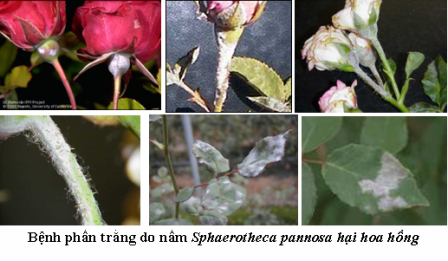 bệnh thường gặp của hoa hồng phan-trang-hoa-hong