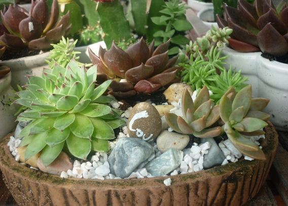 trồng sen đá5