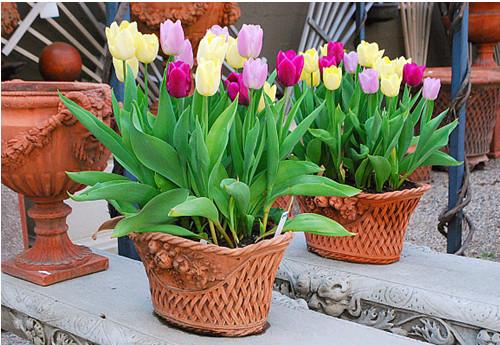 cách trồng hoa Tulip5