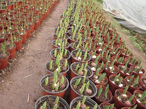 cách trồng hoa Tulip6