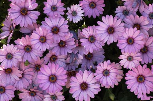 Hoa cúc tím4