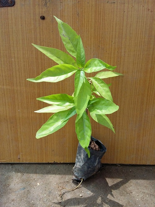 Những công dụng đặc biệt của cây hoàn ngọc
