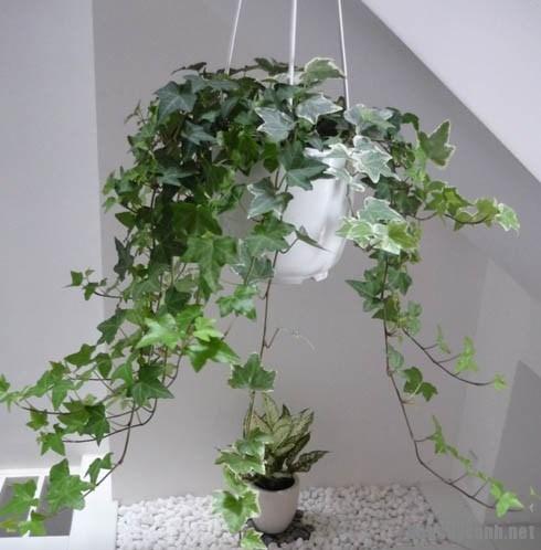 Bí quyết trồng cây thường xuân trong chậu luôn đẹp