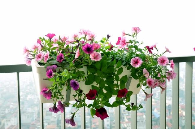 Hướng dẫn chọn mua hoa dạ yến thảo đẹp