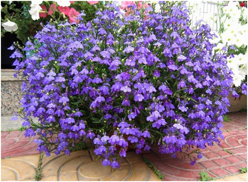 hoa-lobelia-mix-2