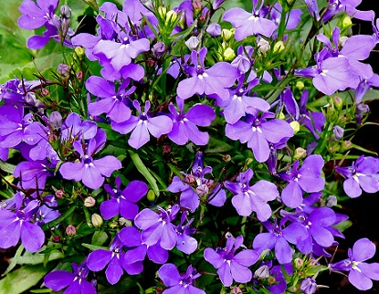 hoa-lobelia-mix-3