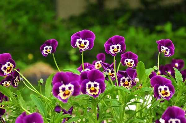hoa-pansy-mix-2