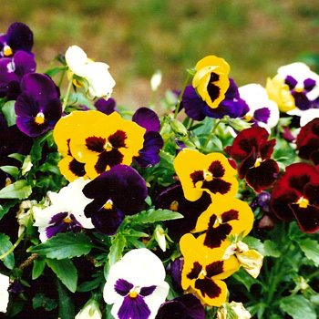 hoa-pansy-mix-3
