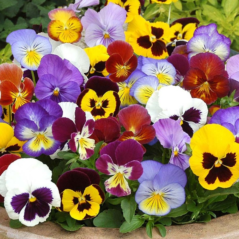 hoa-pansy-mix