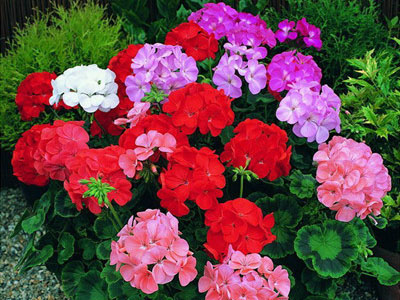 Cách trồng và chăm sóc hoa phong lữ thảo luôn đẹp