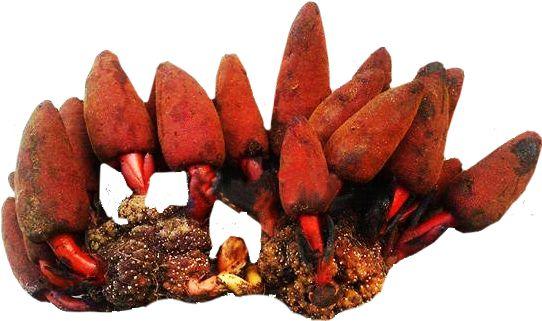 Đặc điểm hình thái và tác dụng của nấm ngọc cẩu