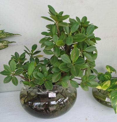 Cây da Nhật bonsai đẹp