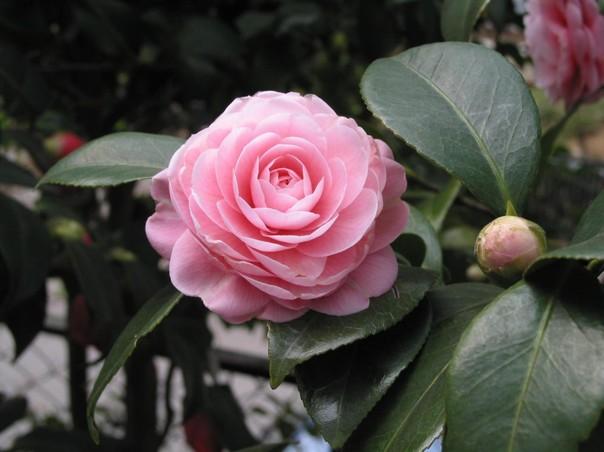 Đôi nét về các loại hoa trà đẹp