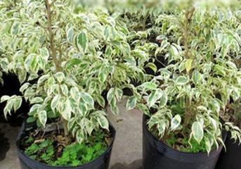 Cách trồng và chăm sóc cây si cẩm thạch
