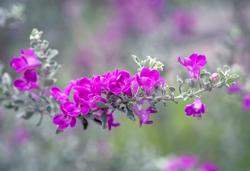 Hoa tuyết sơn phi hồng - Hoa lạ cho cảnh quan thêm đẹp
