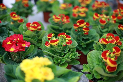 Cây hoa báo xuân - Loài hoa đẹp đón xuân sang