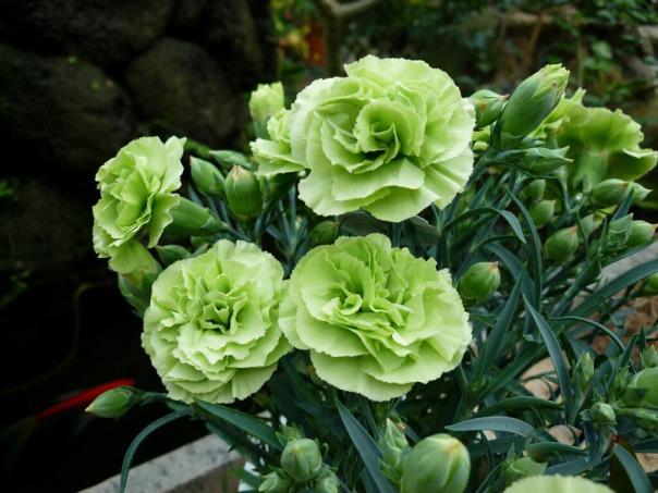Hoa cẩm chướng - Hoa đẹp vạn người mê