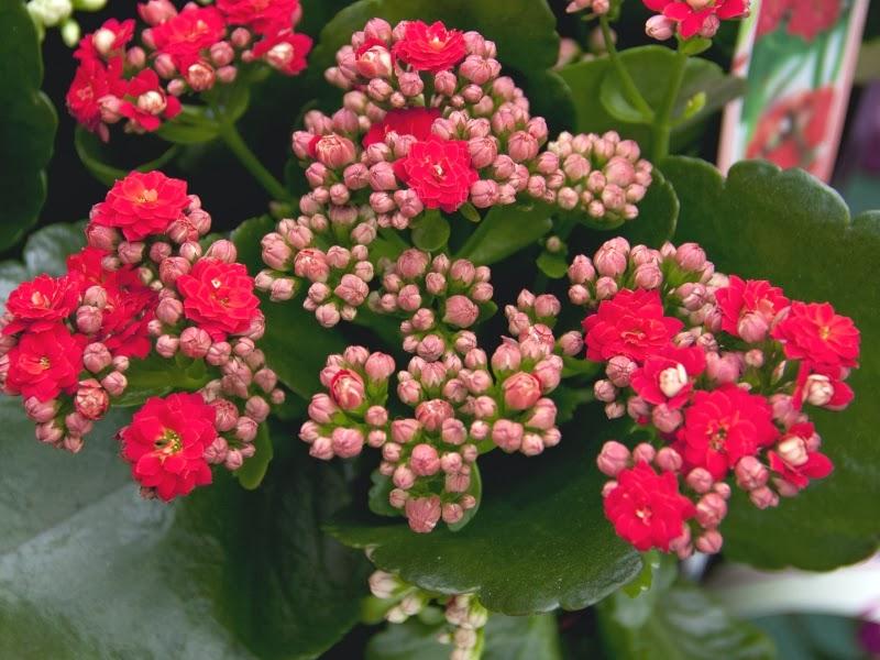 Hoa đẹp làm quà tặng giáng sinh 2016