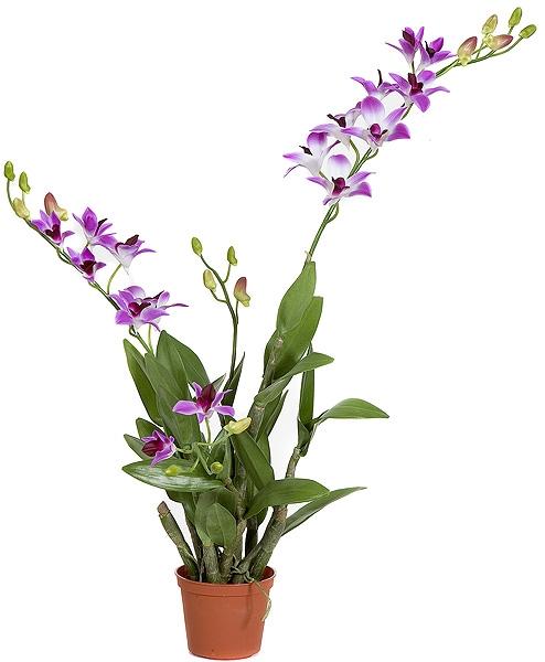 Cây hoa lan dendro chậu treo đẹp